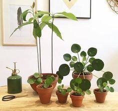 A beautiful Pilea family! A beautiful Pilea family! Living Room Plants, House Plants Decor, Plant Decor, All About Plants, Decoration Plante, Plants Are Friends, Plant Aesthetic, Bathroom Plants, Plant Design