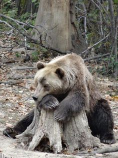 Thinking about hibernating -- this is me this morning and I don't have a clue for the 4 themed boards this morning. See you soon, hopefully successful Animals And Pets, Baby Animals, Cute Animals, Bear Pictures, Funny Animal Pictures, Alaska, We Bear, Bear Wallpaper, Woodland Creatures