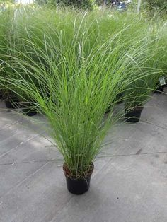 house flower garden 682295412273275274 - MISCANTHUS sinensis 'Gracillimus' Source by Modern Landscaping, Landscaping Plants, Front Yard Landscaping, Back Gardens, Outdoor Gardens, Miscanthus Sinensis Gracillimus, Large Outdoor Planters, Ornamental Grasses, Ornamental Grass Landscape