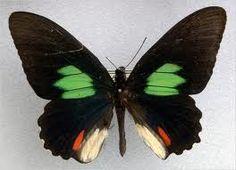 butterfly wing symmetry - Google Search