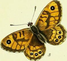 """Image from page 90 of """"The papilios of Great Britain, systematically arranged, accurately engraved, and painted from nature, with the natural history of each species, from a close application to the subject, and observations made in different countries of 