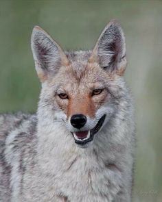 Coyote in Yellowstone Predator Hunting, Coyote Hunting, Pheasant Hunting, Archery Hunting, Beautiful Creatures, Animals Beautiful, Cute Animals, Maned Wolf, Wolf Howling