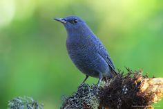 นกกระเบื้องผา / Blue Rock-Thrush / Monticola solitarius | Flickr - Photo Sharing!