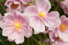 A must have in the late season garden! Award-winner Anemone x hybrida 'Elegans' is a lovely, Japanese Anemone hybrid cultivar exhibiting bowl-shaped, semi-double, light pink flowers, 3 in. wide (7 cm), with 10 to 15 narrow, overlapping tepals surrounding a yellow center of anthers.