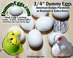 """Dummy eggs made for American Parakeet Budgie and Diamond Doves. 3/4"""" solid plastic eggs."""