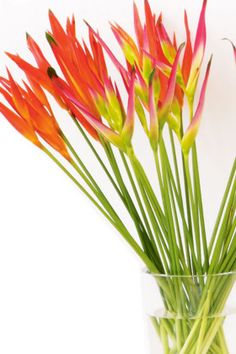 Tropical flowers.  Torch Heliconia (Heliconia Psittacorum)  Comes in orange, yellow and bright pink.
