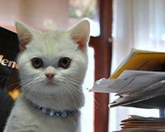 Mete Düren çiftliğimizden British Shorthair cinsi kedisine sahip oldu. http://www.elityavru.com/ozel-kedi-kopek-yavrusu