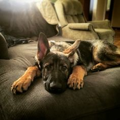 Maverick at 4 mos old. DDR/ Czech working line German shepherd