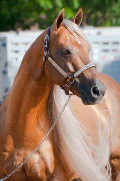 Quarter Horse.