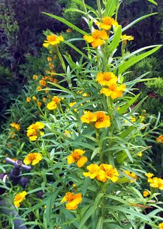 It's called Mexican mint marigold, and people from Mexico recognize it instantly. It's also called French Tarragon.