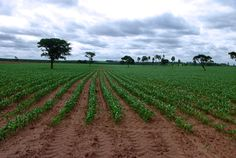 Economy: In this photo there is a field with crops, this is in Brazil. Their major category of the economy is agriculture. They plant and provide coffee, soybeans, wheat, rice, corn, sugarcane, cocoa, and citrus fruit. To grow these people have to maintain the plant, so this job employs 16 percent of the population. They also repurpose some of the plants such as, sugarcane which they make into ethyl alcohol for cars. So agriculture help the economy by making the ethyl and creating jobs.