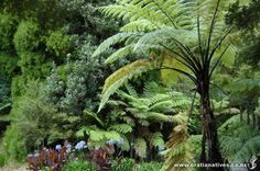 Cyathea medullaris (Mamaku) - Hardy, fast growing tree fern with long fronds. Largest tree fern, often establishing on slips, bare earth and stream sides. Evergreen Ferns, Tropical Garden Design, Tree Fern, Fast Growing Trees, Native Gardens, Black Tree, Clay Soil, Plant Nursery, Terraces