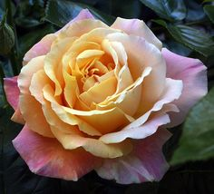 Mom loved peace roses, she had beautiful ones at the kellogg house and they smelled heavenly.