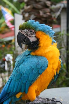 mike the blue and gold macaw  black hammock  blackhammock  on pinterest  rh   pinterest