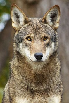 Red wolf, Canis rufus                                                                                                                                                     More