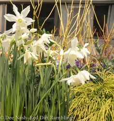 Narcissus 'Thalia'--Dee Nash Thalia, Bulbs, Roots, Bird, Spring, Garden, Plants, Lamps, Bulb Lights