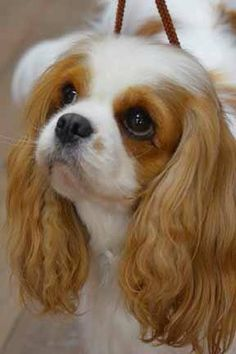 The many things I admire about the Fun Cavalier King Charles Spaniel Pup Beautiful Dogs, Animals Beautiful, Cute Animals, Mini Malteser, Cute Puppies, Cute Dogs, Cavalier King Charles Dog, King Charles Spaniels, Dog Supplies