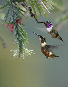 White Bellied Woodstar Hummingbird