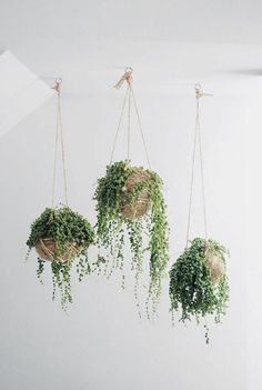 Indoor plants with bead-like leaves, string of pearls are usually planted in hanging baskets. The string of pearls indoor plants grows well in bright light. Cactus E Suculentas, Decoration Plante, Pot Plante, String Of Pearls, Hanging Planters, Indoor Hanging Baskets, Diy Hanging, Hanging Baskets Kitchen, Hanging Potted Plants