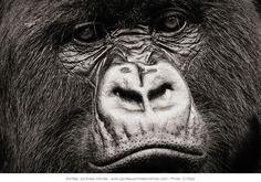 © Sébastien Meys Gros plan sur le visage d'un gorille