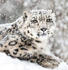 beautiful-wildlife:Snow Leopard In Snow Storm by Abeselom Zerit