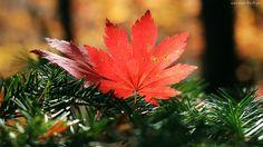 Czerwony, Klonowy, Liść, Jesień