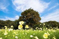 さわやかな風の吹き抜けているようなこちらの写真。元気に咲いたコスモスが、風に揺れているようでとってもきれいです。