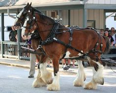 Nick and Lou. They are Clydesdales who live and work at the Kentucky Horse Park.