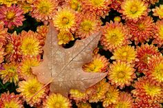 Close-up of a maple leaf and chrysanthemums with raindrops Forest And Wildlife, Magical Forest, Chrysanthemums, Couple Art, Rain Drops, Spring Summer Fashion, Photo Art, Diy Crafts, Holiday