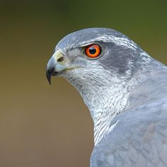 All Birds, Birds Of Prey, Love Birds, Beautiful Birds, Animals Beautiful, Northern Goshawk, Bird Perch, Bird Species, Animal Photography
