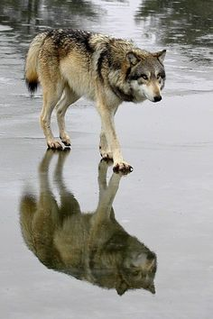 Wolf reflection - only problem is getting close enough to a wold and most likely others to get the shot.