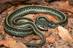 Eastern Garter Snake, Coastal Georgia, in our yard.