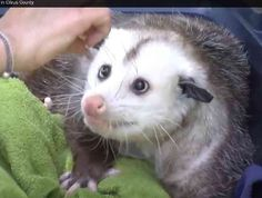 Barley -- The Awesome Oppossum  ... from PetsLady.com ... The FUN site for Animal Lovers