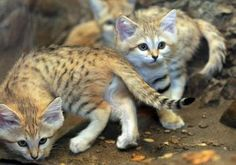 Not sure what an Arabian sand cat is, exactly, but they sure do make adorable little kittens. Link to more Arabian sand kitten pics. EDIT: wikipedia has a short article about the Arabian sand cat . Little Kittens, Big Cats, Felis Margarita, Small Wild Cats, Sand Cat, Cat 2, North Africa, Cheetah, Mammals