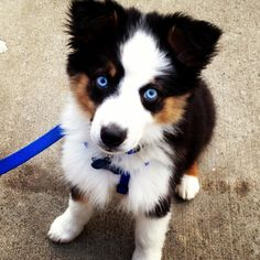 Australian Shepard puppy! This blue eyes are so gorgeous!