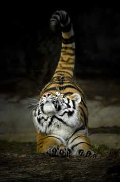 funnywildlife:  Tiger Stretch!!