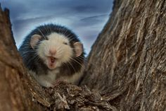 "Laughing rat Photo by Glenn Gilbert -- National Geographic Your ShotA pet rat, climbing his favorite tree in the backyard. There was a wind blowing, and I suspect the wind in his face caused him to yawn, but he looked like he was dissolving into hilarity. He's a good fellow, but I've never seen him repeat this behavior. This is the only shot I have of him ""laughing."""