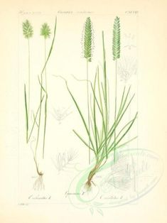 cynosurus echinatus, bromus cristatus - high resolution image from old book. Old Pictures, Botany, Royalty, Herbs, Clip Art, Victorian, Leaves, Illustration, Floral