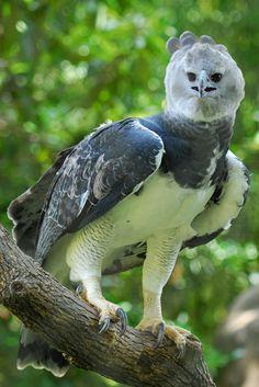 Aguila harpía