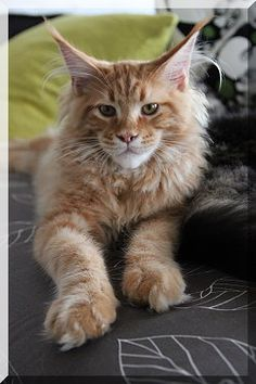 Red Maine Coon - Of Forest-Lake Terence... Love Maine Coons!!