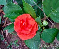 Variedad moñuda anaranjada de la flor Madama