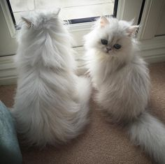 Persian Cat Gallery - Cat's Nine Lives Cute Cats And Kittens, Baby Cats, I Love Cats, Kittens Cutest, Pretty Cats, Beautiful Cats, Animals Beautiful, Cute Baby Animals, Animals And Pets