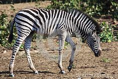 Photo about A Burchell Zebra foal in the Kruger National game park in South Africa. Image of africa, national, black - 43707100 National Games, South Africa, Southern, Stock Photos, Park, Animals, Image, Animales, Animaux