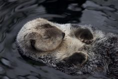 Sleeping otter. Lontra addormentata.