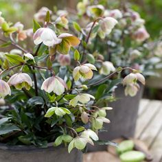 Helleborus × sahinii 'Winterbells' - An extra-long flowering period