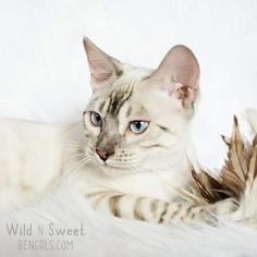 Beautiful silver snow bengal cat