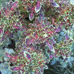 Coleus (Plectranthus scutellarioides 'Fire Fingers') PID: 230250