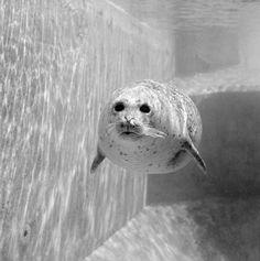 Fine black and white wildlife photography! Wildlife Photography, Animal Photography, Animal Pictures, Underwater, Black And White, Animals, Seal, Pictures, Photographers