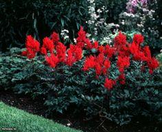 Astilbe (Astilbe japonica 'Red Sentinel')