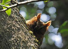 Madagascar scops owl, rufous phase (Otus rutilus), Andasibe | Flickr - Photo Sharing!